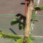 Vrabec polní, kterému málem neprodyšně zateplili hnízdo s mladými