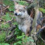Vlk - foto Ondřej Vítek