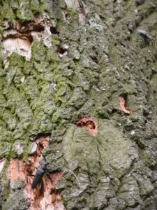 starý strom jako biotop vzácných druhů hmyzu